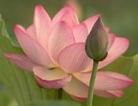 Fresh Lotus Flowers