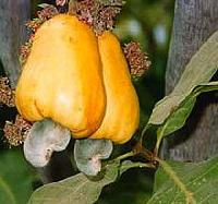 Cashew, Cashew Nuts