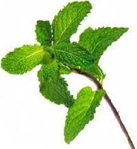 Mint Herbs