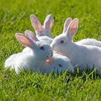 Rabbit Farming