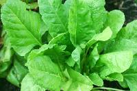Fresh Leafy Vegetables