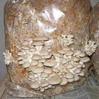 Growing Oyster Mushroom