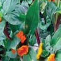 Insulin Plant Leaves (dry Leaves) Zindagi