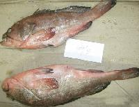 Frozen Reef Cod - Whole - Exporters and Wholesale Suppliers,  Gujarat - Al Ashfiya Trading & Service