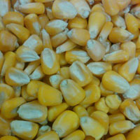 Indian Yellow Maize, Indian Yellow Corn