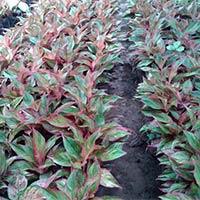 Aglaonemas Plants