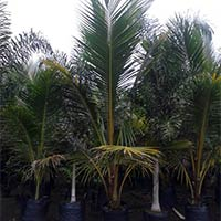 Coconut Palm Plants