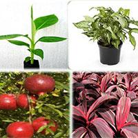 Tissue Culture Plants