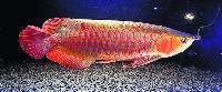Ornamentals Fish