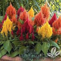 Celosia Flower Plants