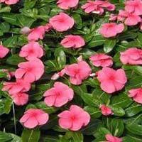 Vinca Rose Flower Plants