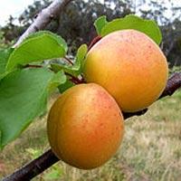 Wild Apricot Oil