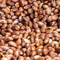 Red Castor Seeds