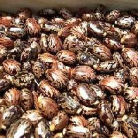 Castor Seed Suppliers India
