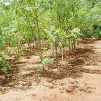 Fresh Moringa Leaves Suppliers India