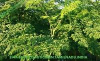 New Moringa Leaves Suppliers