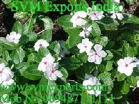 Vinca Rosea Exporters India