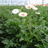 Gerbera Flowers