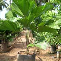 Grandis Palm Plants