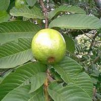 Psidium Guava Seed
