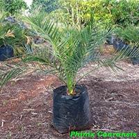 Phoenix Canariensis Palm Plant