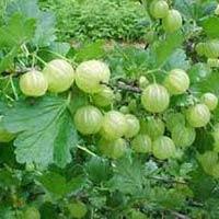 Phyllanthus Emblica Seed