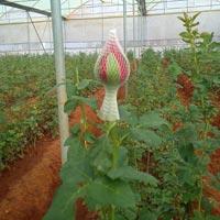 Tajmahal Rose Flower