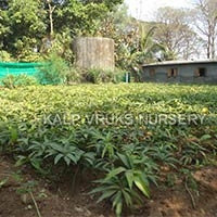 Rajapuri Mango Plant