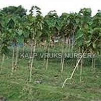 Sag Tree Plant