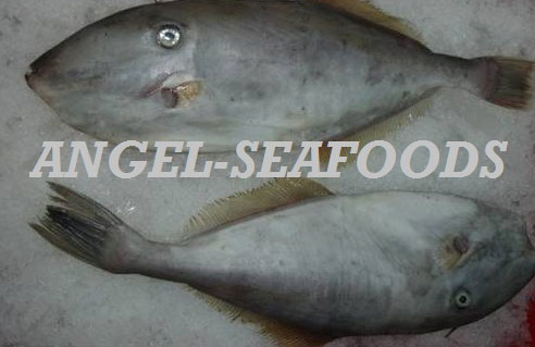 Frozen Leather Jacket Fish - Manufacturers, Suppliers ...