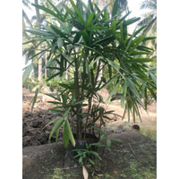 Raphis Palm Trees