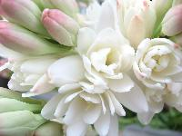 Fresh Tuberose Flowers