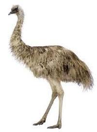 Emu Bird