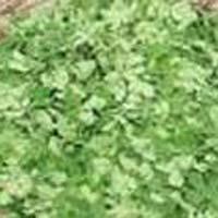 Fresh Moringa Leaves