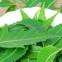Fresh Neem Leaves