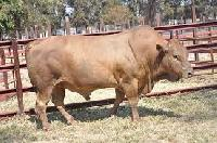 Agro Cattle