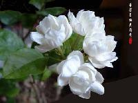 Jasmine(malli)
