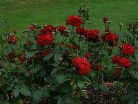 Rose Plants