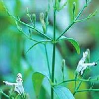 Kalmegh, Andrographis Paniculata