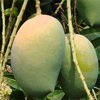 Fresh Kesar Mangoes