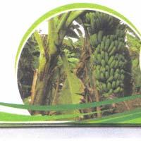 TC Banana Plants