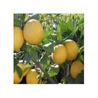 Tc Lemon Plants