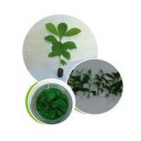 Tc Teak Plants