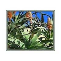 Aloe Vera Leaves