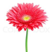 Fresh Red Gerbera Daisy Flower