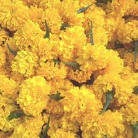 Fresh Marigold