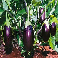 Brinjal F1 Hybrid Seeds