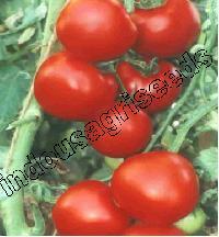 Indo Us Rakhi Op Tomato Seeds