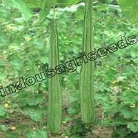 Indo us Ravina ridge gourd F1 hybrid seeds