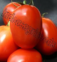 Indo Us Rigour Fighter Tomato F1 Hybrid Seeds